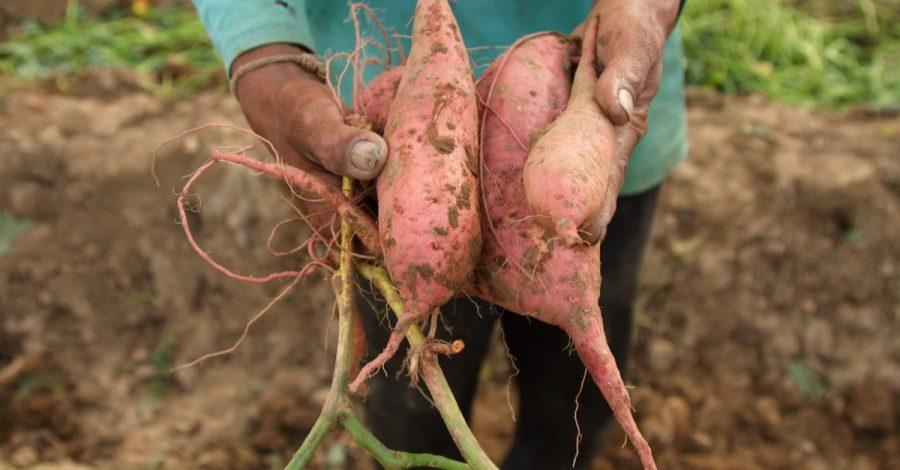 Farmer holding sweet potato